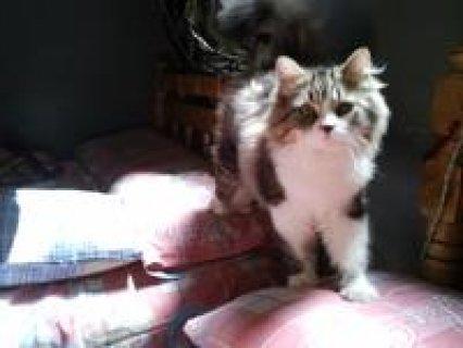 القط سيمبا مون فيس اصلى سلاله نادره الوان رائعه وسعر تحفه