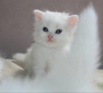 قطط شيرازى بيور للبيع