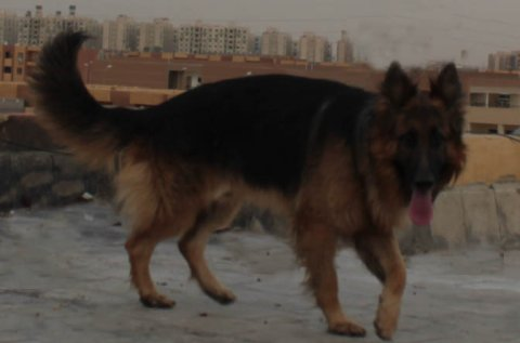 للبيع جرو (German Shepherd) ابنا روى