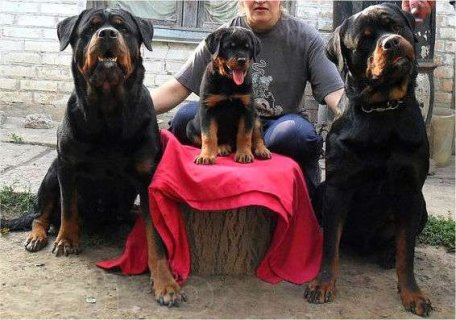 imported puppies rottweiler Females