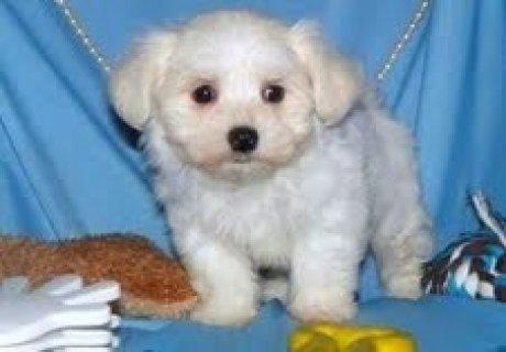 Teacup Maltese PuppiesIntelligent Teacup Maltese PuppiesIntellig
