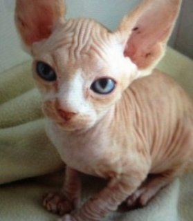 صور Bold and Wrinkly Sphynx Kittens 1