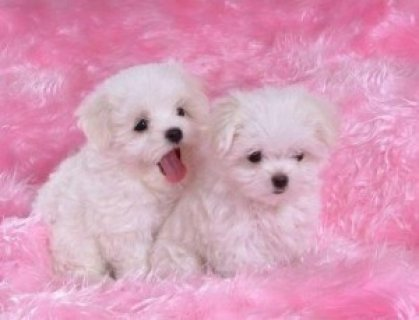 Maltese Puppies for