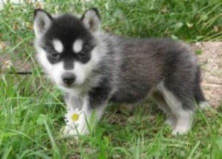 Siberian Husky Puppies! for