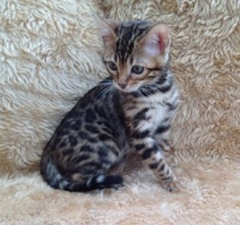 A very sad sale of our beautiful Bengal cat. She is affectionate