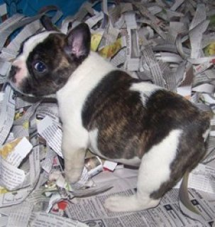 2 gorgeous Pure Breed FRENCH BULL DOG puppies available.