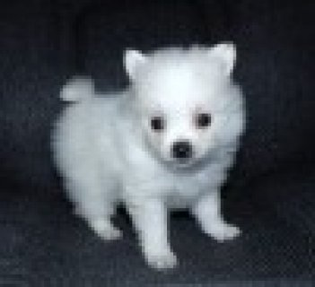 صور Top Quality Teacup Pomeranian Puppy 1