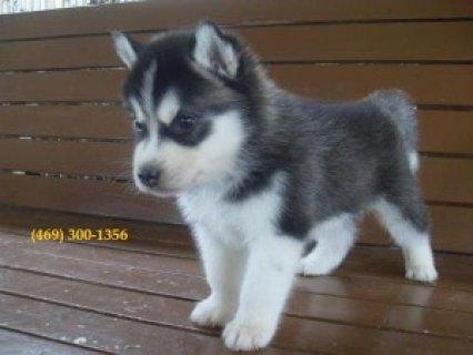 Registered Siberian Husky Puppies