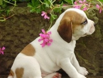 صور AKC English Bulldog Puppies For Free Adoption 1