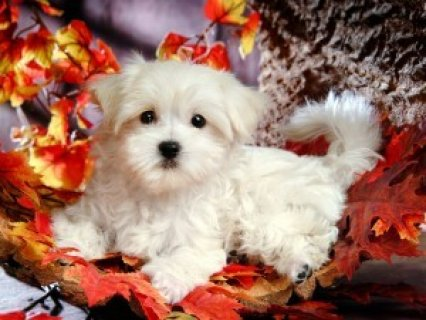 Trained Maltese Puppies