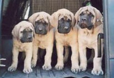 *****MASTIFF PUPPIES FOR YOUR HOME****