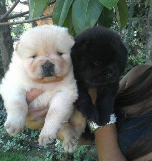 كلاب تشاوتشاو