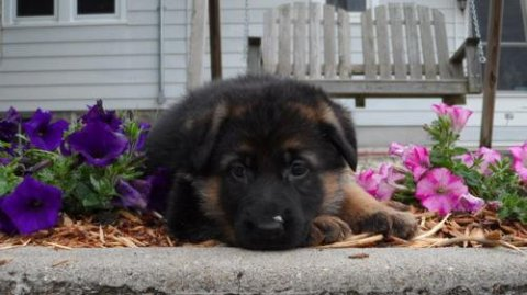 2 German Shepherd puppies for Rehomingw5e