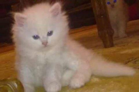 شيراز قطة للبيع