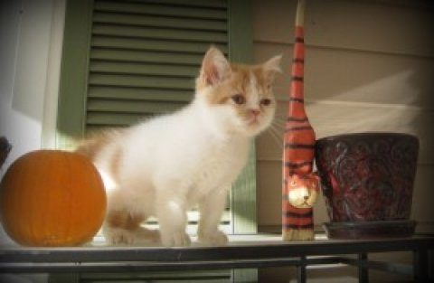 Outstanding Exotic Shorthair kittens For Sale $250.00