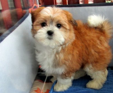 Cute Maltese x ShihTzu Hybrid 50-50 Cross Puppies