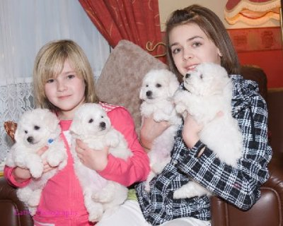 Bichon Frise puppies for free adoptionew