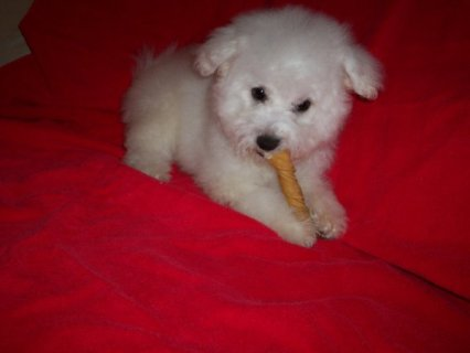 WELL TRAINED BICHON FRISE PUPPIES