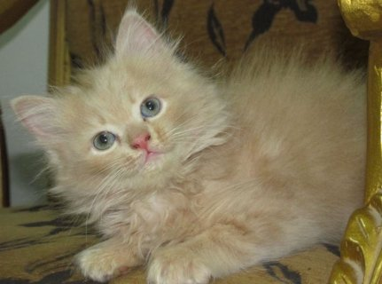قطة شيرازى - شهرين