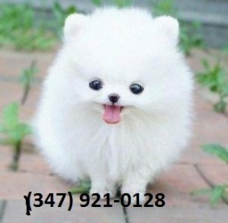 bBeautiful Pom Pups for Adoption