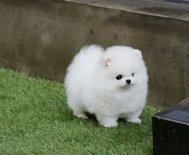 male and female AKC Teacup-Size Pomeranian Puppies