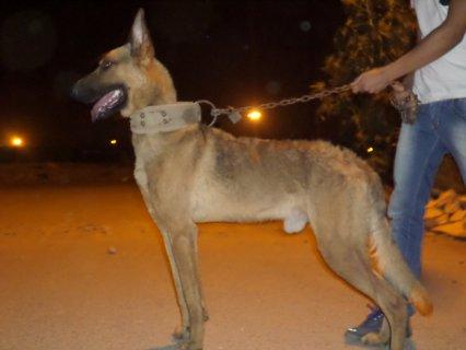 كلب مالينو دكر للبيع