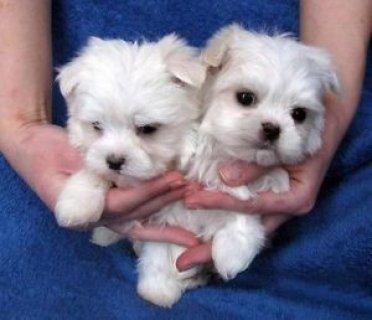2Maltese Puppies