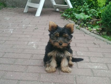 Cross Line Teacup Yorkie Ready And Available $250.00