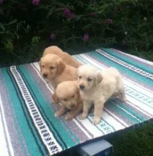 nice Golden Retriever Puppies