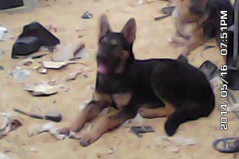 كلب بلاك جاك الماني (5)شهرو  تقليب عالي جدا جدا