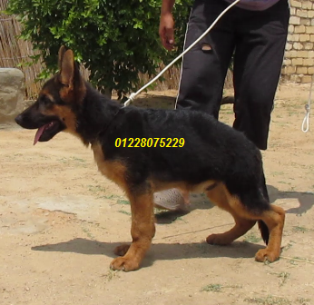 German shepherd young male  for professionals.