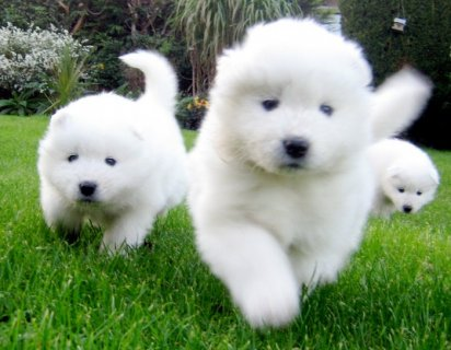 twoSamoyed Puppies for Adoption