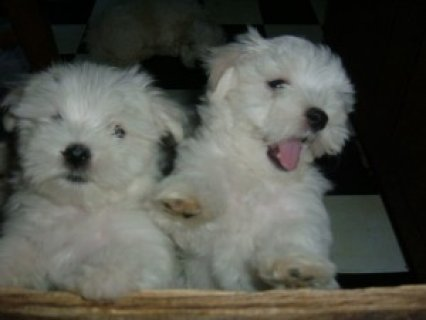 Looking for a Maltese puppy