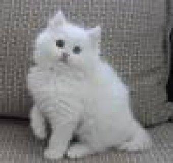 قط شيراز عمر 45 يوم ابيض بعيون زرقاء للبيع