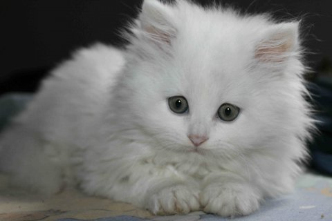 قطط شيرازى بيور موت فيس