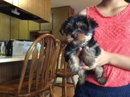 A Free Female Adult Yorkie