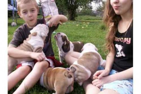 beautiful and super nice English bulldog puppies
