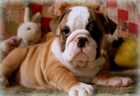 c AKC English Bulldog Puppies for Easter