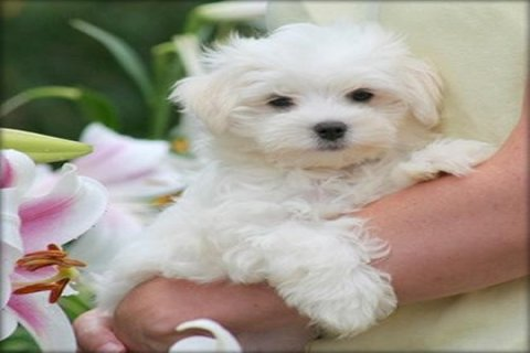 a Stunning White Teacup Maltese Pups