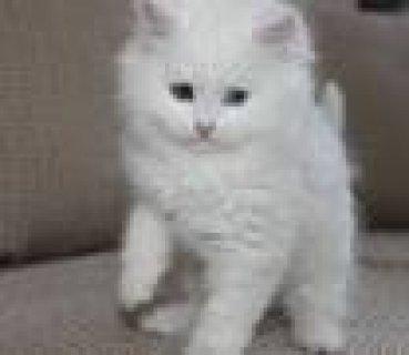 قط شيرازى ابيض شقى عمر شهر ونصف للبيع