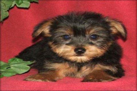 Miniature health guaranteed yprkie Puppies........