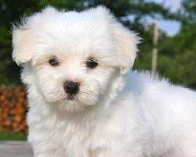 sMaltese Puppies for Adoption