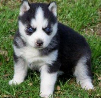 dAdorable Siberian Husky Puppies