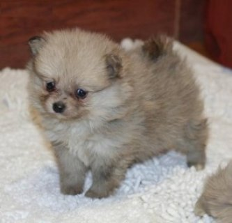 Joy Bringer tinny teacup Pomeranian puppies for Christmas contac