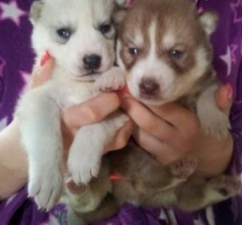 2 Siberian Husky for Adoption