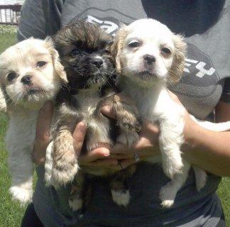 sweet Adorable Cockapoo Puppies