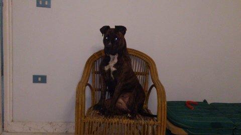 كلبه بيتبول