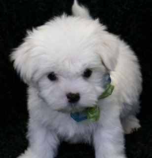 I have 3 Beautiful Maltese puppies