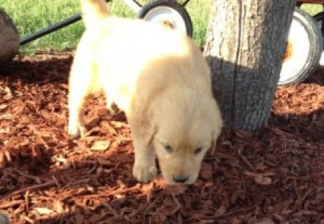 Absolutely darling Golden Retriever Puppies,
