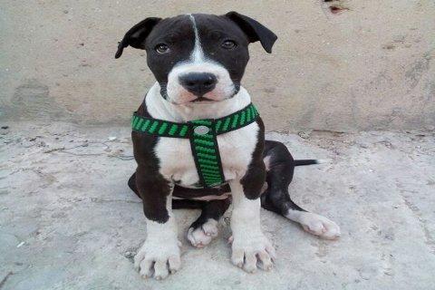 كلبة بيتبول لل بيع بسعر مغري